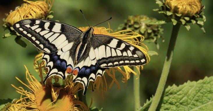 Wie züchte ich Schmetterlinge selbst